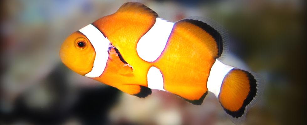 Ventura california tropical fish for sale ventura for Saltwater aquarium fish for sale